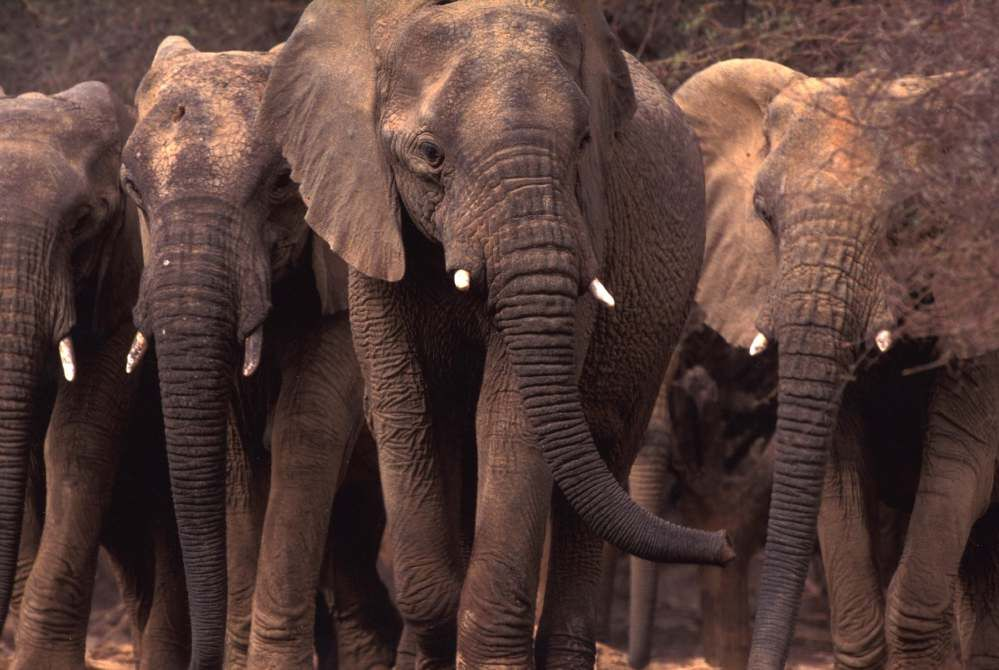 The Mali Elephant Project - <b>Mali </b><br><br>