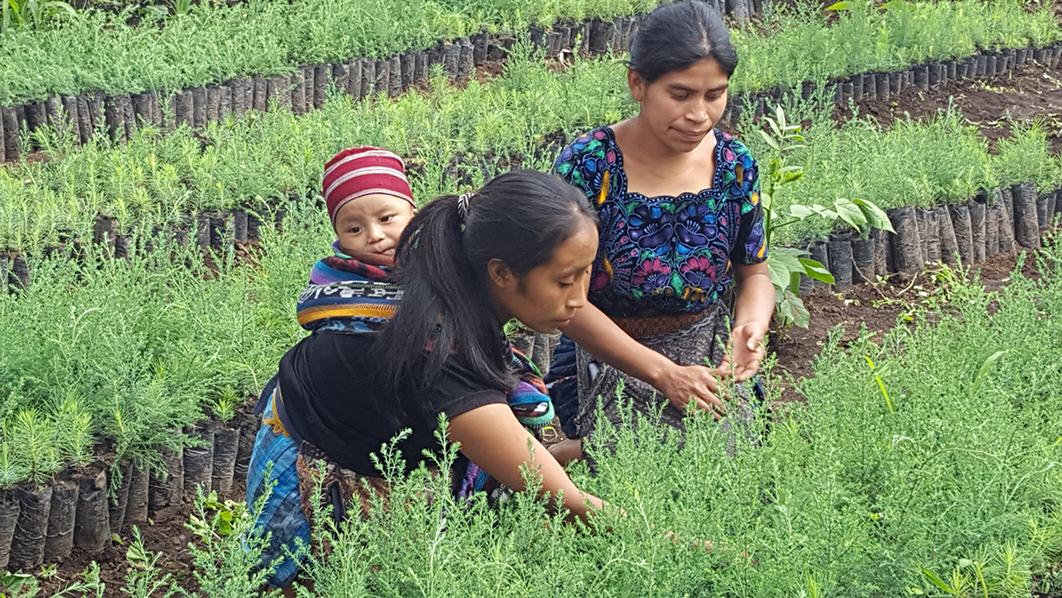 Alianza Internacional de Reforestación (AIRES) - <b> Guatemala </b>